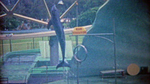 1962: Miami Seaquarium seal balances ball, dolphin jumps through hoops Footage