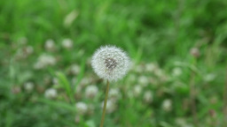 Seed Of Dandelion On The Grass With Wind stock footage
