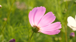 Swing clean cosmos flower at a field in slow motion Footage