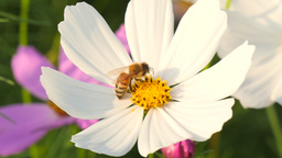 Honeybee collecting pollen at cosmos flower Footage
