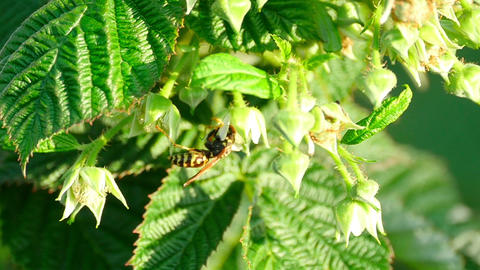 Wasp on a flower raspberry Footage