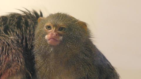 Pygmy Marmoset monkey Footage