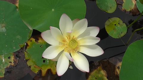 Beautiful Lotus Flower Stock Video Footage