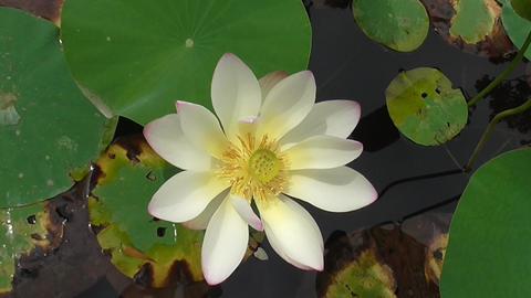 Beautiful Lotus Flower Footage