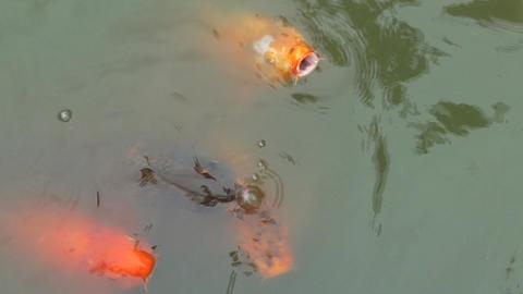 Colorful Koi Fish Footage