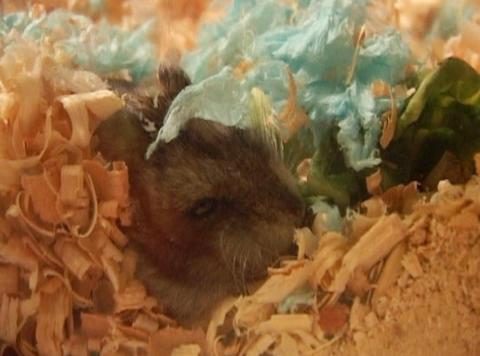 little hamster Footage