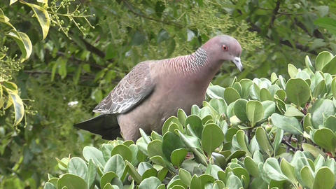 Pigeon , Dove , Eating Fruits in a Plant Footage