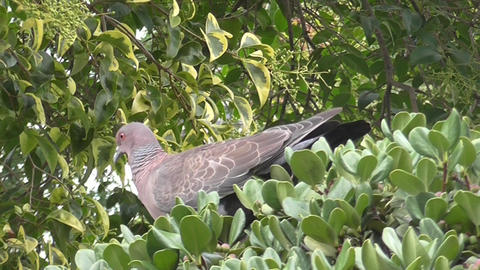 Pigeon Eating Fruits Stock Video Footage