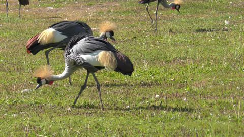 Grey Crowned Crane stock footage