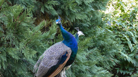 peacock Footage