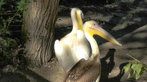 European White Pelican stock footage