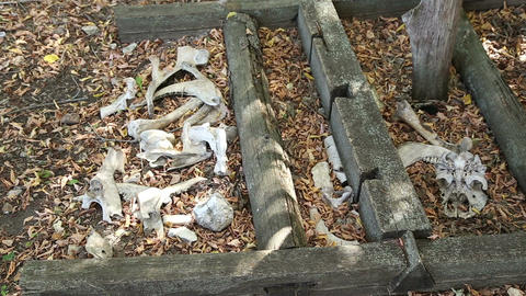 Animal bones lying on the ground Live Action