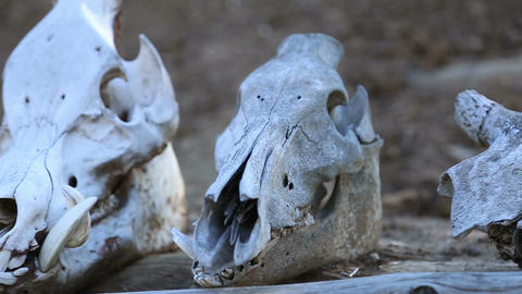 Skulls of animals lie on the beam Live Action