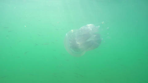A Flock of Fry Near Jellyfish Footage