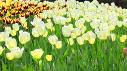 Delicate couloured tulips Footage