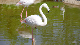 White long-legged flamingos in sunny day Footage