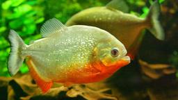 Red-bellied piranha in aquarium Footage