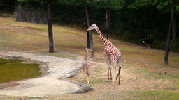 Mother Giraffe And Cub In Summer Park stock footage