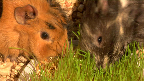 eating guinea pigs Footage