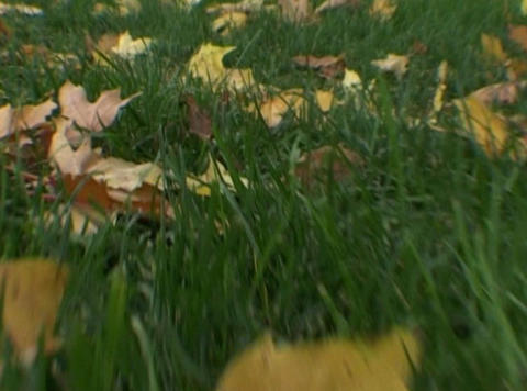 through the fallen leaves Footage