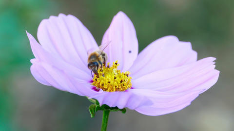 Bee on a cosmos flower Footage