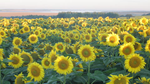 Big field of the blossoming sunflowers , panning Footage