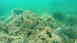 shallow rocky sea bottom with fish Footage