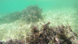 kelp sea bottom Footage