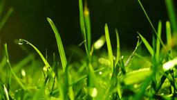 Grass With Dew Drops and Blur, sound Footage