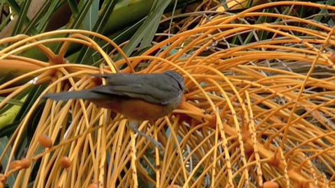 Turdus Bird , Red Chest Live Action