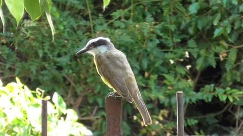 Yellow chest bird , Pitangus sulphuratus Live Action