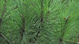 Pine Tree In Showa Kinen Park,Tokyo,Japan stock footage