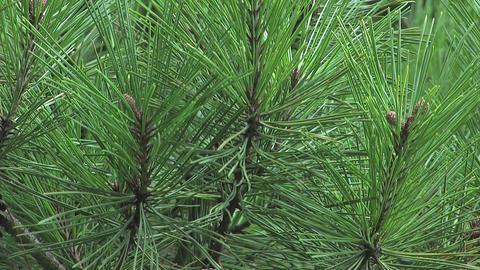 Pine Tree in Showa Kinen Park,Tokyo,Japan Stock Video Footage