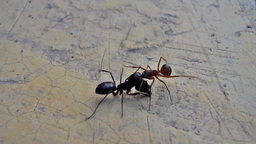 Two ants having a serious battle (1) Footage
