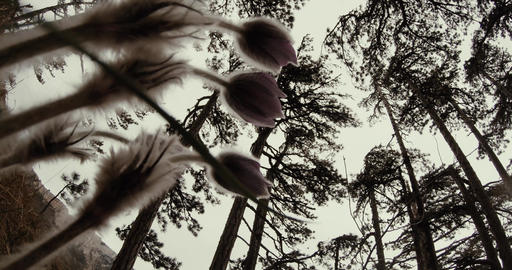 view from the ground in coniferous forest through the spring flowers in the clou Footage