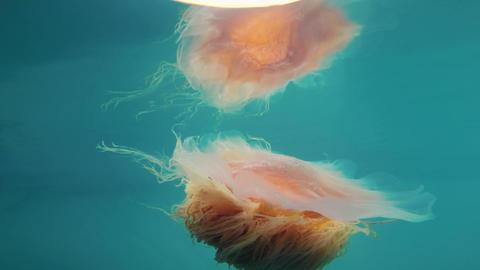 Orange Brown Jellyfish Resurrection Bay Alaska Sea Wildlife Footage