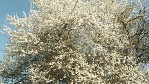 blue sky and sun through blossoming fruit trees, cherry, pear and flying bees ar Footage