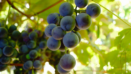 Red Grapes on the vine with breeze Footage
