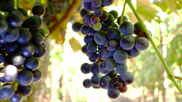 Red Grapes On The Vine, An Unripe Grape, A Grape Eaten By Bees stock footage