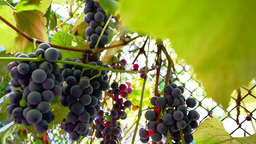 Cluster of wine grapes on vine in sunlight Footage