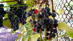 Red Grapes on the vine with cat's paw Footage