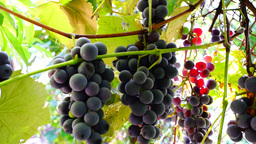 Red Grapes on the vine with sunshine and bee Footage