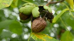 4K Walnut Tree Fruits 3 Footage