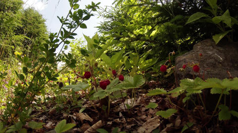 Wild Strawberry In The Fields Of The Highlands In The European Mountains stock footage