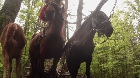 horse-drawn carriage in standing against the background of the forest view from  Footage