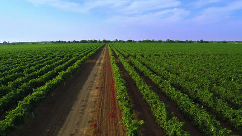 Flight over the Vineyard. Aerial Video from Drone Footage
