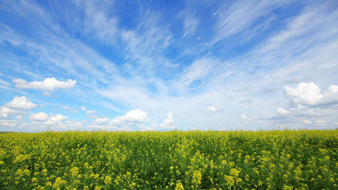 beautiful flowering rapeseed field Footage