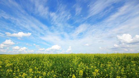 beautiful flowering rapeseed field Footage