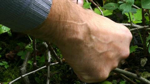 Hand breaks a lemon from tree branch, in September 2015 Footage
