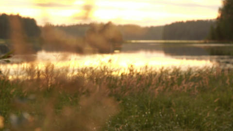 Rack focus shot of bushreed spikes at lakeside in evening light Footage